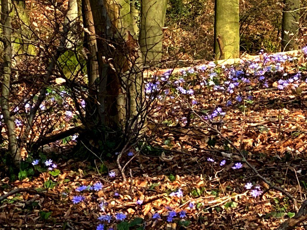 Blühende Leberblümchen im Teutoburger Wald,