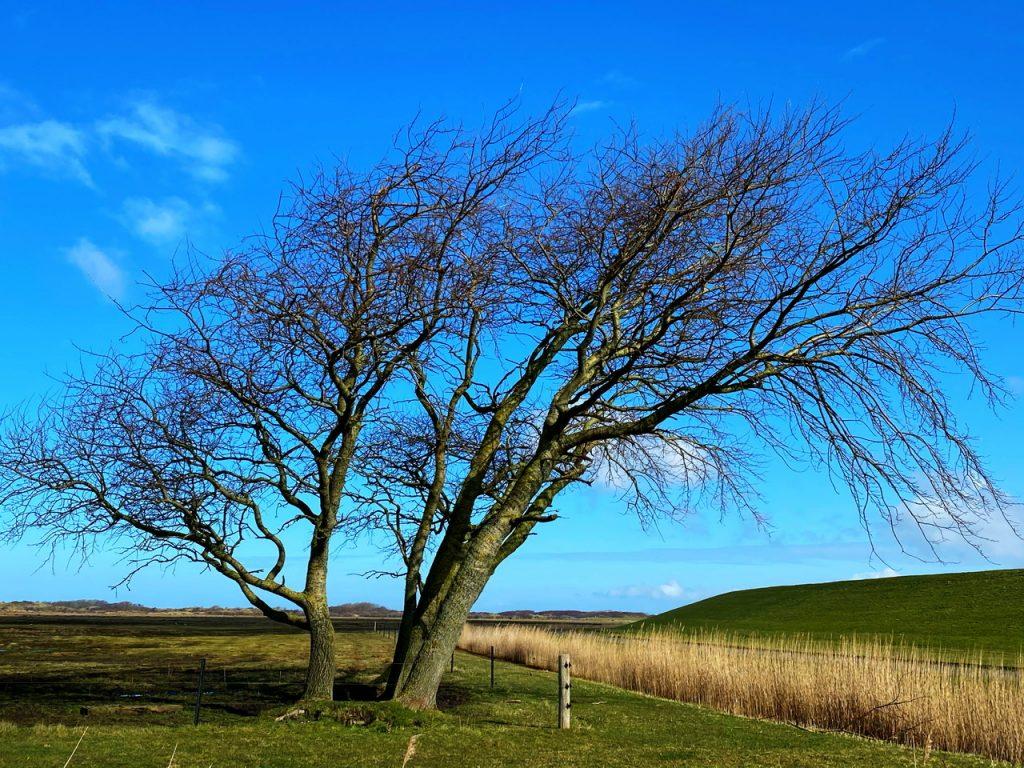 Windflüchter, Baum vor dem Deich,